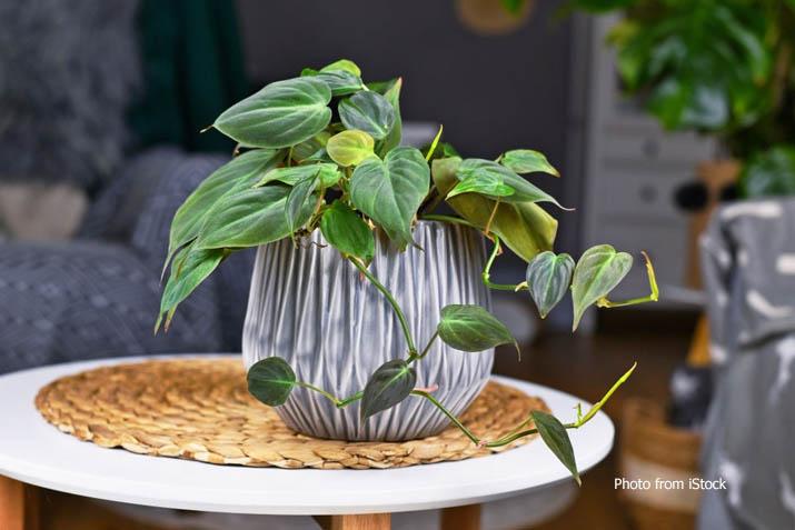 Tanaman Hias Philodendron Micans
